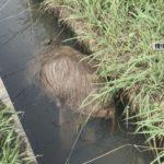 豚コレラ 野生イノシシ感染確定。用水路で、岐阜養豚場への経路は海外か